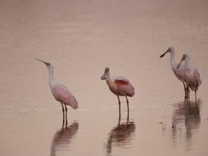 Roseate Spoonbills Stand in Shallow Water, Reflecting the Pink Sunset by Nicole Duplaix