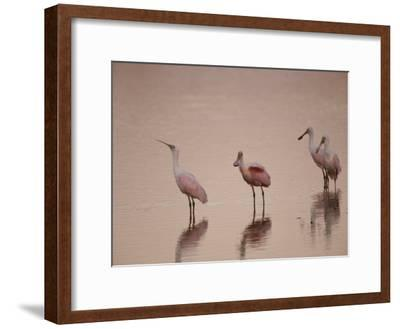 Roseate Spoonbills Stand in Shallow Water, Reflecting the Pink Sunset