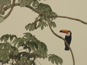 Toco Toucan Fledgling at the Fazenda Barranco Alto by Nicole Duplaix
