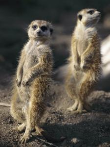 Two Meerkats Stand Guard Outside Their Den by Nicole Duplaix