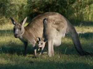 View of an Eastern Grey Kangaroo with Young by Nicole Duplaix
