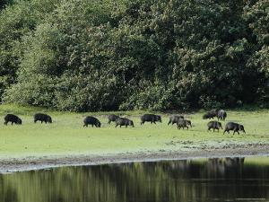 White-Lipped Peccaries on the Shoreline of the Rio Negro by Nicole Duplaix
