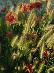 Wildflowers and Grass Tufts in Provence by Nicole Duplaix