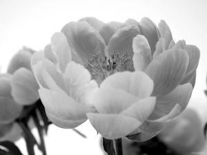 Delicate Blossom I by Nicole Katano