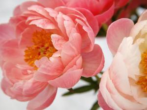 Delicate Blossom II by Nicole Katano