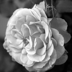 Delicate Petals II by Nicole Katano