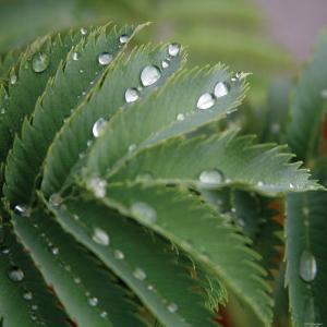 Dew Drops II by Nicole Katano