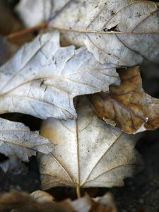 Fallen Leaves II by Nicole Katano