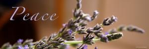 Lavender Peace by Nicole Katano