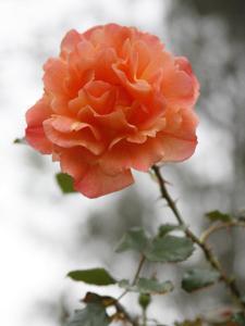 Peach Rose by Nicole Katano