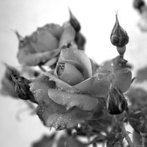 Rose Buds by Nicole Katano