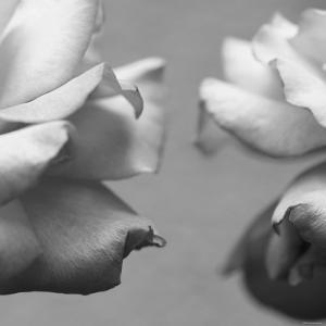 Rose Petals I by Nicole Katano