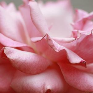 Rose Petals III by Nicole Katano