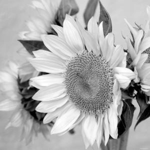 Beautiful flowers black and white photography artwork for sale sunny sunflower ii mightylinksfo