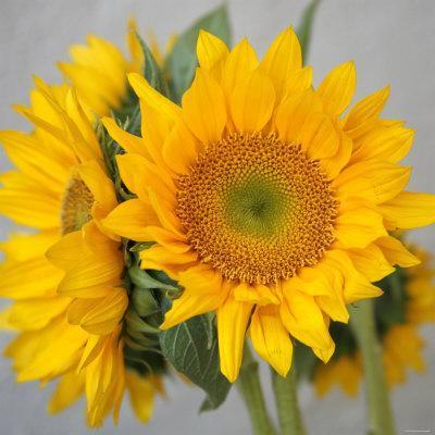 Sunny Sunflower III