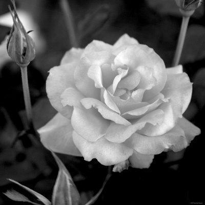 Sweet Rose I