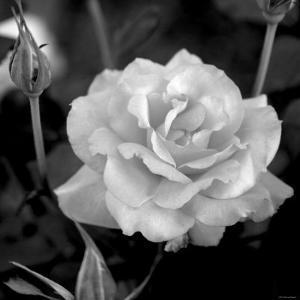 Sweet Rose I by Nicole Katano