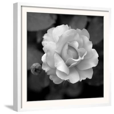 Sweet Rose II
