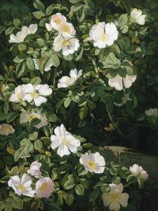 Dog Roses in Flower by Niels Peter Rasmussen