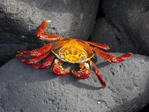 Ecuador, Galapagos, a Brightly Coloured Sally Lightfoot Crab Skips over the Dark Rocks by Niels Van Gijn