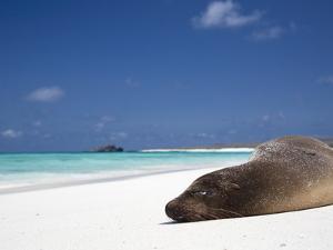 Ecuador, Galapagos, Sunbathing Sea Lion on the Stunning Beaches of San Cristobal, Galapagos by Niels Van Gijn