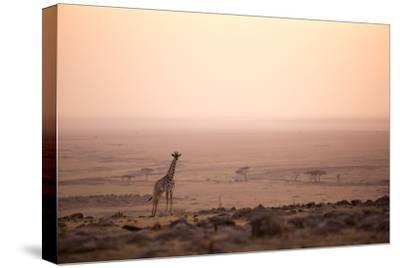 Kenya, Mara North Conservancy. a Young Giraffe with Never Ending Plains of Maasai Mara Behind