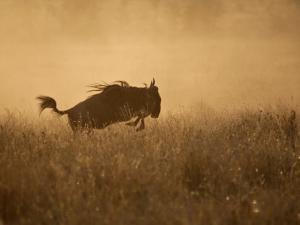 Tanzania, Serengeti; a Gnu Leaps Through the Grass by Niels Van Gijn