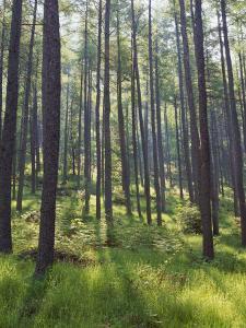 Pine Trees in Great Wood, Borrowdale, Lake District, Cumbria, England, United Kingdom, Europe by Nigel Blythe