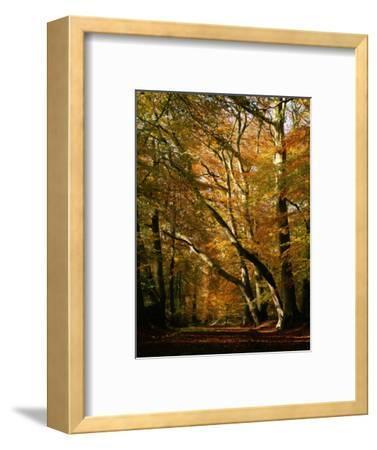Beech Trees in Autumn Foliage in a National Trust Wood at Ashridge, Buckinghamshire, England, UK