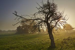 A Gnarled Old Apple Tree in Misty Sunrise Light by Nigel Hicks