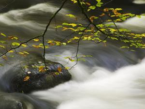 An Autumnal Tree Hanging over a River Flowing around a Boulder by Nigel Hicks