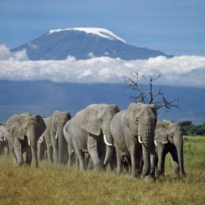 A Herd of Elephants with Mount Kilimanjaro in the Background by Nigel Pavitt