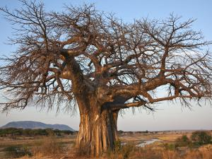 A Large Baobab Tree Growing on the Banks of the Great Ruaha River in Ruaha National Park; by Nigel Pavitt