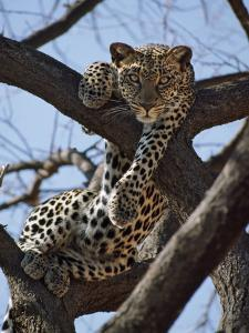 A Leopard Gazes Intently from a Comfortable Perch in a Tree in Samburu National Reserve by Nigel Pavitt