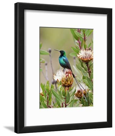 A Malachite Sunbird on a Protea Flower at 9,750 Feet on the Moorlands of Mount Kenya