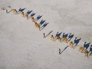 Afar Camel Caravan Crosses the Salt Flats of Lake Assal, Djibouti, as Shadows Lengthen in the Late  by Nigel Pavitt