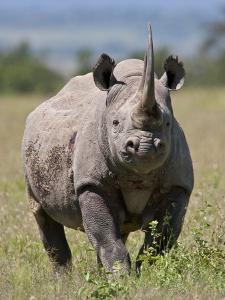 An Alert Black Rhino; Mweiga, Solio, Kenya by Nigel Pavitt