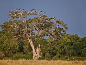 As Dusk Approaches, Marabou Storks Roost in Large Wild Fig Tree Near the Mara River by Nigel Pavitt