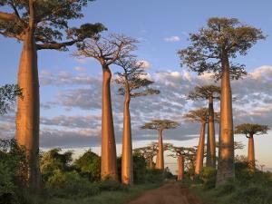 Avenue of Baobabs at Sunrise by Nigel Pavitt