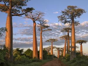 Avenue of Baobabs at Sunrise by Nigel Pavitt