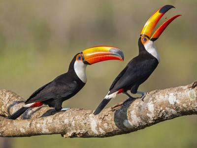 Brazil, Pantanal, Mato Grosso Do Sul. a Pair of Spectacular Toco Toucans Feeding. by Nigel Pavitt