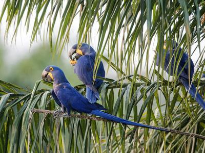 Brazil, Pantanal, Mato Grosso Do Sul. Hyacinth Macaws Roosting in a Palm.