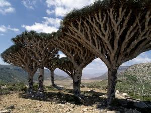 Endemic Dragon's Blood Trees Grow Among Socotran Desert Roses in the Homhil Mountains by Nigel Pavitt