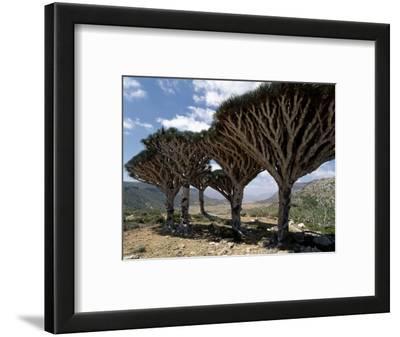 Endemic Dragon's Blood Trees Grow Among Socotran Desert Roses in the Homhil Mountains