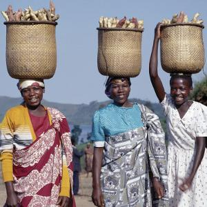 Group of Cheerful Women Carry Sweet Potatoes to Market in Traditional Split-Bamboo Baskets by Nigel Pavitt