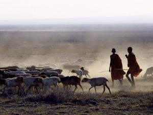 In the Early Morning, a Maasai Herdsboy and His Sister Drive their Flock of Sheep across the Dusty  by Nigel Pavitt