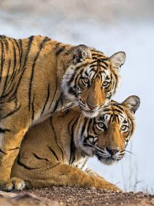 India Rajasthan, Ranthambhore. a Female Bengal Tiger with One of Her One-Year-Old Cubs. by Nigel Pavitt