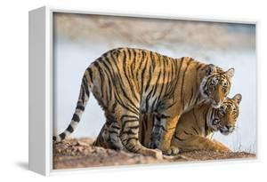 India, Rajasthan, Ranthambhore. a Female Bengal Tiger with One of Her One-Year-Old Cubs. by Nigel Pavitt