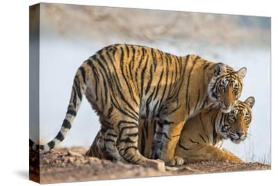 India, Rajasthan, Ranthambhore. a Female Bengal Tiger with One of Her One-Year-Old Cubs.