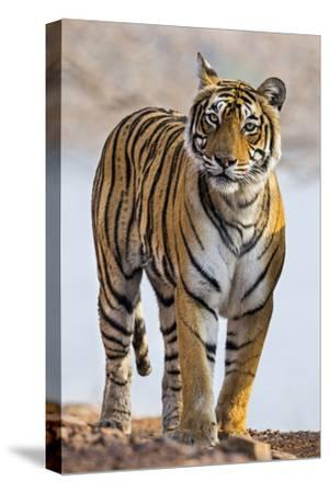 India, Rajasthan, Ranthambhore. a Female Bengal Tiger.